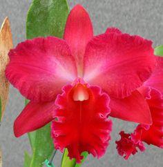 Odom's Orchids, Inc. - Slc. Vallezac 'Evelyn' AM/AOS., $45.00 (http://www.odoms.com/products/slc-vallezac-evelyn-am-aos.html)