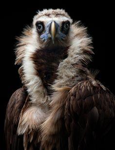 His Eminence - Eurasian Black Vulture // Vautour moine - Pretty Birds, Beautiful Birds, Animals Beautiful, Cute Animals, All Birds, Birds Of Prey, Love Birds, Animal Original, Tier Fotos