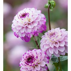 Soft coloured dahlias like Genova mauve. Use with ivories & apricots. High-quality healthy tubers. Pick yours today!