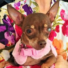 Cute Muttville mutt: Belly 3288 (Chihuahua | Female | Size: small (6-20 lbs))