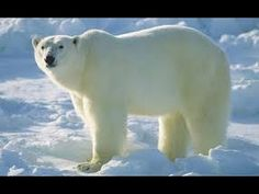Snow and Ice Svalbard (Arctic Wildlife Documentary) - YouTube