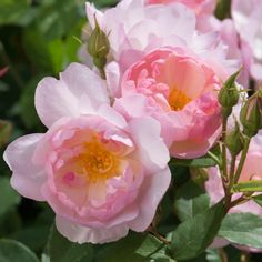 Scarborough Fair - David Austin Roses