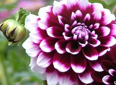 Flower Names Images Flowers In The Garden Big Flowers, Beautiful Flowers, Wedding Flowers, Flowers Perennials, Planting Flowers, Flower Names, Garden Care, Zinnias, Dahlias