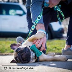 Hope you have as much fun this weekend as Maximus here getting belly rubs on his walk #bellyrubbreak #thriftypup #bowtie #dogbowtie #dogsinbowties  bowtiesarecool #bowtiesforpets #dogaccessories #dogfashion #upcycled #handmade #shopsmall #supportsmallbusiness #fancydogs #dapperdog #stylishdog #dog #dogstagram #dogsofinstagram #doglovers #puppy #puppylove #puppiesofinstagram #frenchie #frenchies #frenchielove #frenchbulldog #frenchiesofinstagram #frenchbulldogsofinstagram by thriftypup