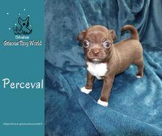 Le caractère du Chihuahua est un un mélange de douceur, de joie de vivre et de témérité.Sous sa bouille craquante et sapetite taille se cache un vrai dur! Le Chihuahua, Matou, Tiny World, Chihuahuas, French Bulldog, Dogs, Animals, Apartment Living, Companion Dog