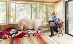 Steve Jenkins and Esther the Wonder Pig. The pig that changed their lives. The Guardian, February 2017