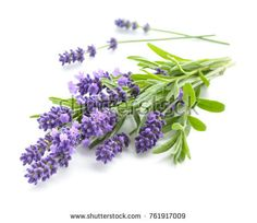 Organic Lotion with Lavender Essential Oil to Balance mind, body, and spirit Aromatherapy Product Lavender Scent, Lavender Fields, Lavender Flowers, Migraine, Growing Lavender, French Lavender, Lavandula Angustifolia, Garden Plants, Products