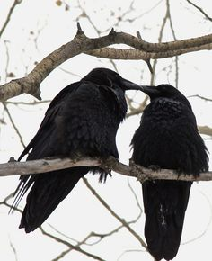 'Tis the Season for RAVENS!!!!!! (Thanks to the Daily Loki for sharing. Remind me to tell you all the story about the ravens and the hawk some day.)