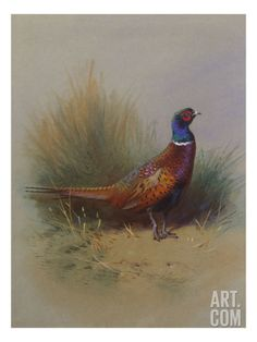 A Cock Pheasant Print by Archibald Thorburn at Art.com