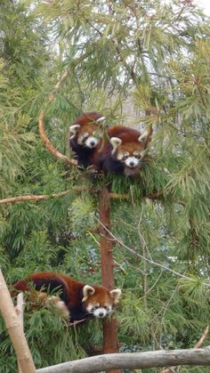Red Pandas at Prospect Park Zoo Scary Animals, Animals And Pets, Funny Animals, Cutest Animals On Earth, Cute Baby Animals, My Spirit Animal, My Animal, Beautiful Creatures, Animals Beautiful