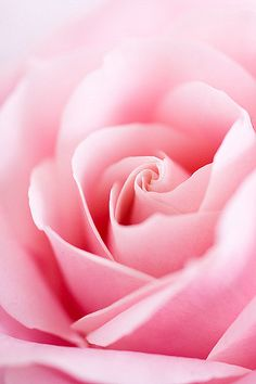 The soft petals of a perfect rose. Love Rose, My Flower, Pretty Flowers, Pretty In Pink, Pink Flowers, Cactus Flower, Exotic Flowers, Couleur Rose Pastel, Orquideas Cymbidium
