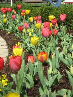 Year after year, hope would spring eternal with colorful tulips along the side of the house at 610 Laurel after a long Michigan winter.