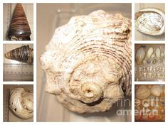 Shell shocked by Miss McLean Shell Shock, Shells, Lion Sculpture, Wall Art, Collection, Conch Shells, Conchas De Mar, Sea Shells, Seashells