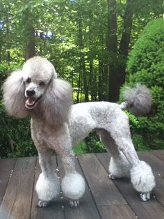 Different Styles Poodle Grooming Different hair styles - Page 2 standard poodle haircuts styles - Haircut Style Poodle Grooming, Dog Grooming Styles, Pet Grooming, Cortes Poodle, Poodle Haircut Styles, Poodle Hairstyles, Silver Poodle, Grey Poodle, Small Poodle