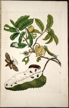 Antique botanical art by Maria Sibylla Merian - Metamorphosis insectorum surinamensium [Transformations of the insects of Surinam] , 1705.