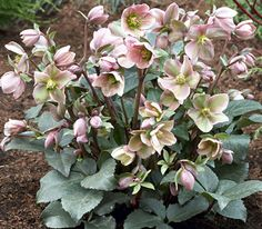 Klehm's Song Sparrow Farm and Nursery--Shade Perennials--Helleborus Angel Glow® ('BLT02') PP21,093