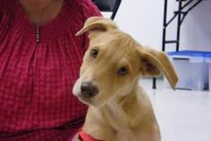Toppy is an adoptable Pharaoh Hound Dog in Columbia, SC. 07/14/12 - Toppy is a Pharoah Hound Mix (Greyhound family) spayed female, 8 mths old, 40 lbs now, gorgeous eyes that blend with the color of h...