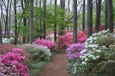 Azalea woods, Georgia USA