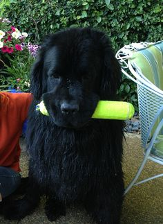 Pet insurance helped Jeter overcome four surgeries and $15,000+ in vet bills, and now this big 2-year-old Newfie pup is ready to take on the world... one toy at a time!