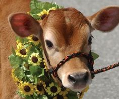 Strolling of the Heifers Parade in Brattleboro, Vt.