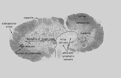 tejido linfoide (ganglio linfatico)
