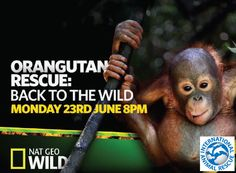 IAR's Orangutans and Rescue Team Set to Star in TV Special   International Animal Rescue