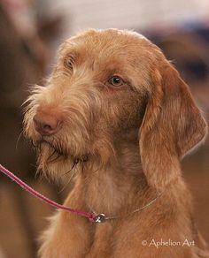 hungarian vizsla #vizsla #dog #hunting