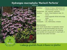 Afbeelding van http://www.limburgplant.nl/plant/HYMMPERF.jpg.