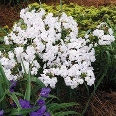 Phlox x 'Minnie Pearl' upright, part shade, June-Aug fragrant Flower Beds, My Flower, Flowers, Phlox Plant, Purple Perennials, Container Gardening, Garden Landscaping, Backyard, Patio