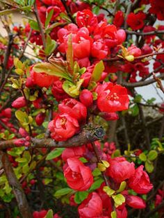 Chaenomeles japonica Dwarf Quince. Fruit - raw or cooked[2, 3, 4, 11, 177, 183]. Very harsh and acid raw but fragrant when cooked, imparting a strong pleasant flavour to jams and jellies[1, 200], it is especially good cooked with apples in apple pies[K]. The fruit is apple-shaped and about 4cm in diameter[200]. The rich aromatic juice, as tart as a lemon, is squeezed and used for culinary purposes[183].