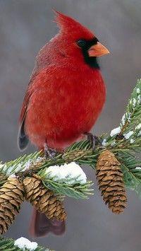 Upierzony kardynał