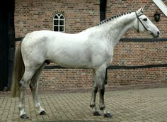 Dutch warmblood stallion, registered KWPN, Tjungske.