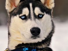 Animals Dogs Husky Siberian Husky