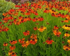 Sneezeweed  (Helenium 'Mardi Gras')  Plant it in spring or fall and watch as these flowers reach 3 feet tall and 3 feet wide. Once mature, you can propagate them by division.   Bloom season: Summer Hardy to -40F zones 3 to 9 Water requirement: Low Full sun or partial shade