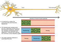 Action Potential A neuron can receive input from other neurons and, if this input is strong enough, send the signal to downstream neurons. Transmission of a signal between neurons is generally carried by a chemical called a neurotransmitter. Transmission of a signal within a neuron (from dendrite to axon terminal) is carried by a brief reversal of the resting membrane potential called an action potential. When neurotransmitter molecules bind to receptors located on a neuron's dendrites, ion…