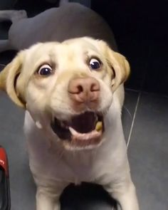Happy Labrador 💖💖💖💖 – Page 7 – Funny Dog Funny Dog Fails, Cute Funny Dogs, Funny Dog Memes, Funny Animal Memes, Funny Animal Videos, Cute Funny Animals, Funny Animal Pictures, Videos Funny, Cute Teacup Puppies