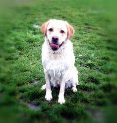 #labrador #white #swimming #playfetch