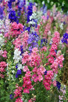 Rocket Larkspur by Lynn Bauer Larkspur Plant, Larkspur Flower, English Garden Design, Cottage Garden Design, Leafy Plants, Nature Plants, Hollyhocks Flowers, Delphiniums, Beautiful Gardens