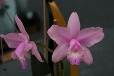 Cattleya intermedia concolor