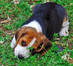 Kaiser the Beagle puppy
