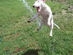 This is Louie, a male 2 year-old Standard English Bull Terrier, doing one of his favorite things.
