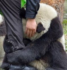 Panda Clinging To An Officer After Earthquake. That is so sad the poor panda, but what a kind person!