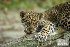 Bébé jaguar né @ZooParc de Beauval (Officiel)