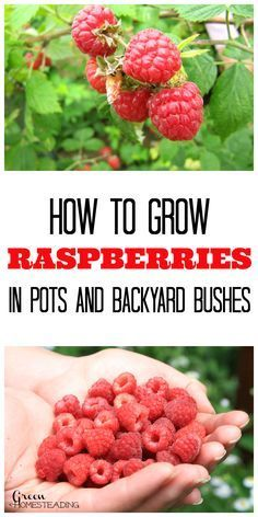 How To Grow Raspberries In Pots And Backyard Raspberry Bushes Raspberries are delicious, packed with nutrients and a delightfully sweet fruit that goes with just about any meal or dessert. Growing …