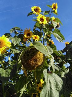 Zonnenbloemen Hoogland