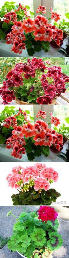 Секреты удобрений для роскошного цветения гераней в домашних условиях