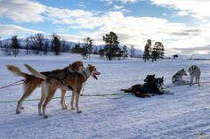 Huskies descansando tras el paseo. Trineo de perros. Laponia noruega