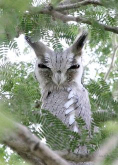 10 African Scops Owl « Why Evolution Is True - Owl Photos, Owl Pictures, Exotic Birds, Colorful Birds, Beautiful Owl, Animals Beautiful, Funny Owls, Photo Animaliere, Rare Animals
