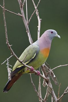 This is the rare pink-necked green pigeon (Treron vernans) and it's honestly not photoshopped. They're found in Cambodia, Indonesia, Malaysia, Myanmar, the Philippines, Singapore, Thailand, and Vietnam. Its natural habitats are subtropical or tropical moist lowland forests, subtropical or tropical mangrove forests, and subtropical or tropical moist montane forests.