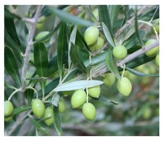 Olives in our garden, Naxos Greece
